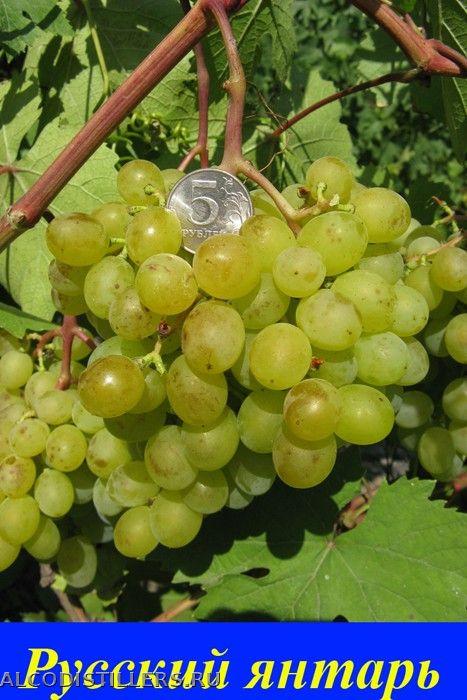 все виноград русский янтарь фото ветер привели массовому